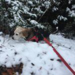 【ビーグル】Qooは寒がりだけど雪が大好き【西谷の森公園】
