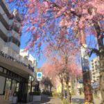 【寿楽荘桜のトンネル】【東山台桜通り桜の並木道】桜の開花状況を見てきたよ♪