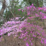 宝塚西谷の森公園はコバノミツバツツジが見頃です