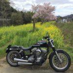 猪名川町の菜の花畑に桜が開花!今しか見れない春の絶景
