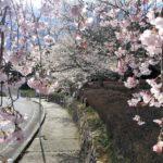 宝塚西谷の森公園の桜が満開!